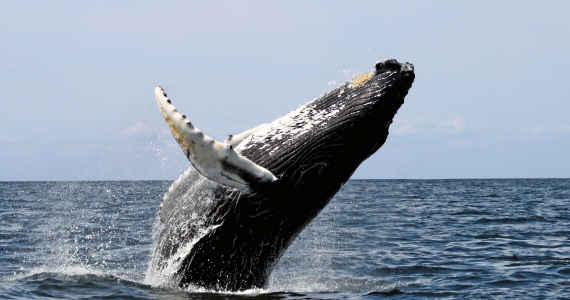 modrá velryba