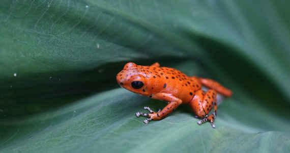šípová žába